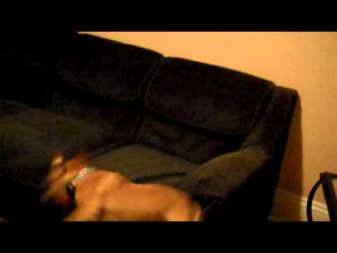 Dog Runs Full Speed Into a Couch – Dog Fail