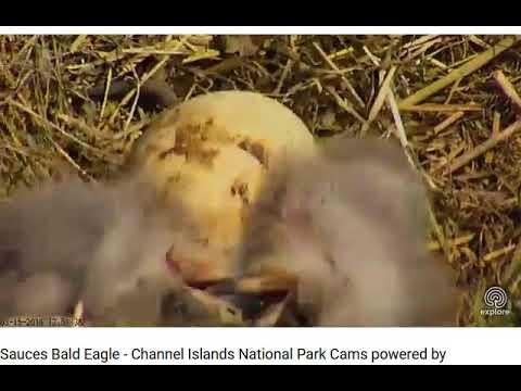 03 15 18~Sauces Bald Eagle~Channel Islands...