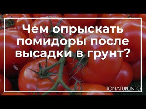 Чем опрыскать помидоры после высадки в грунт? | toNature.Info