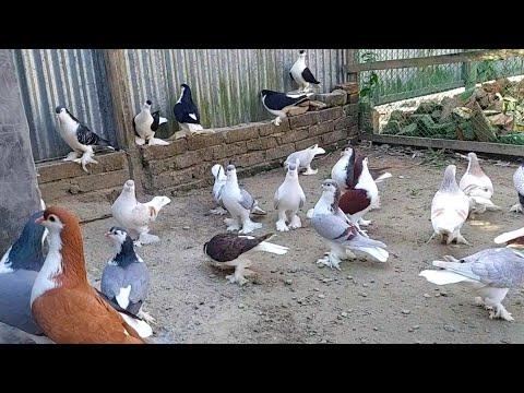 lahore siraji pigeon | best fancy pigeon breeds | fancy pigeon farm