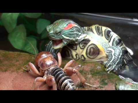 Red Eared Slider Turtles VS Potato Bug