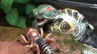 red eared slider turtles VS Potato Bug