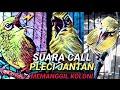Suara Call Pleci Jantan Untuk Pancingan Bunyi Ngalas  Mp3 - Mp4 Download