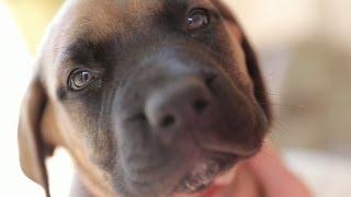 Cuddle With A Precious English Mastiff Puppy