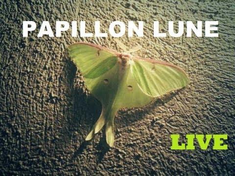 Le papillon lune de la St-Jean | Lac Beauport, Québec | #on_est_live