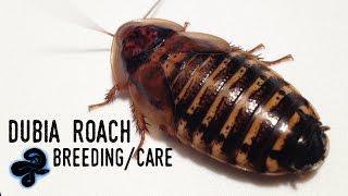 Dubia Roach Breeding/Care Guide