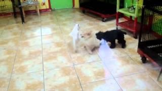 Cocker Spaniel, Pomeranian, Mini Schnauzer
