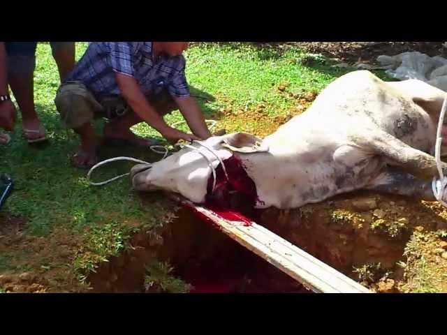 Lembu takbir ketika korban