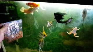 видео Как правильно кормить рыбок в аквариуме?