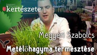 Snidling/Metélőhagyma termesztése, ápolása (Allium schoenoprasum) - Megyeri Szabolcs kertészete
