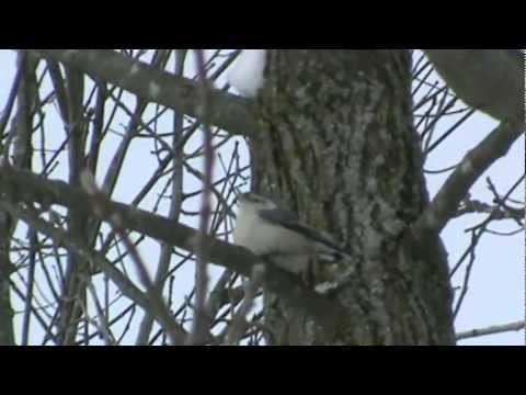 white-breasted nuthatch call  ~~ sitta carolinensis
