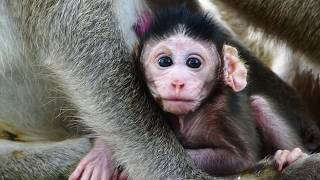 Baby monkey cries loudly
