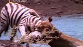 Саблезубый тигр. 2 часть(http://megakoshka.ru/publ/multimedia/dokumentalnye_filmy_o_koshkakh/sablezubyj_tigr/14-1-0-190 Когда вы слышите это имя, на ум приходит одно ..., 2010-12-01T18:14:56.000Z)
