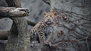 В зоопарке США представили малыша амурского леопарда (новости)