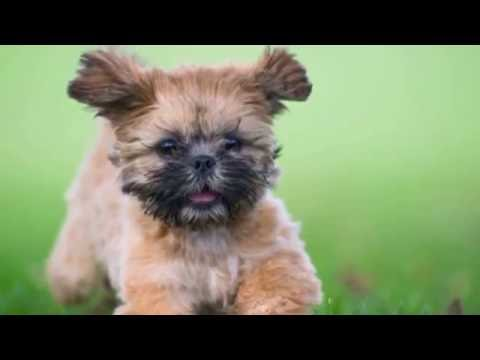 DOG BREEDS RASE LIST #S: SHIH TZU DOG, SAINT BERNARD DOG RASE, STAFFORDSHIRE BULL TERRIER | DISCOVER