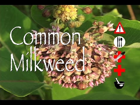 Common Milkweed: Edible, Medicinal, Cautions & Other Uses