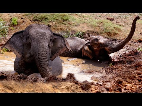 The Elephant That Didn't Want To Get Out Of The Mud en streaming