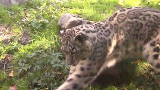 Snow Leopard with Pumpkin Toy at Central Park Zoo