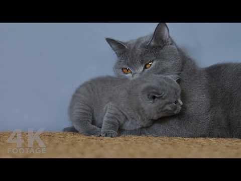 British Shorthair Lilac Kitten, 28 Days Old - 4K footage