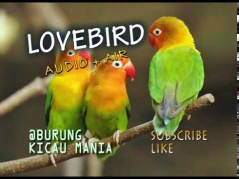 lovebird master audio + suara air sungai dan dilengkapi suara terapi brainwave