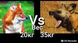 Красный волк против Гиеновидного собаки!Кто кого?