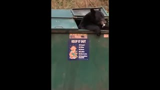 Mama Bear Goes Dumpster Diving, Finds A Snack
