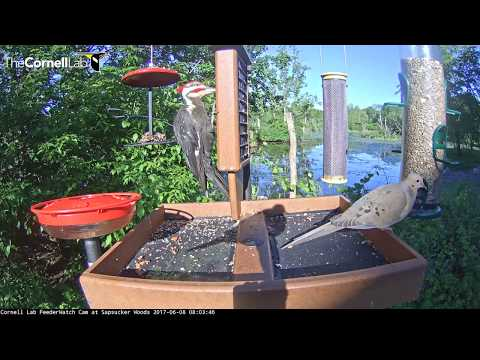 Pileated Woodpecker Stops For Early Morning Suet Treat – June 8, 2017