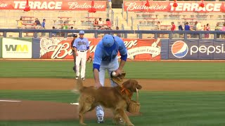Golden Retriever That Delivers Water to Umpires Is Fan Favorite at Baseball Game