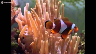 Relax with TROPICAL AQUARIUM - 03 IMPRESSIONS OF A CLOWN-FISH (PURERELAX.TV)