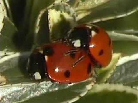 Ladybird Sex 49