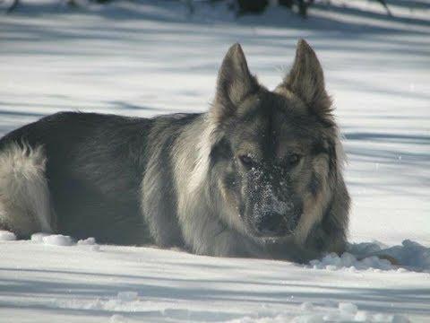 American Alsatian Dog
