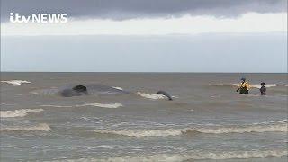 Live sperm whale stranded on Norfolk beach