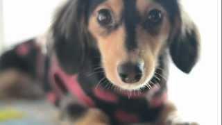 20130122_Marron cute dog By 佐藤さくら 佐藤さくら 動画 19