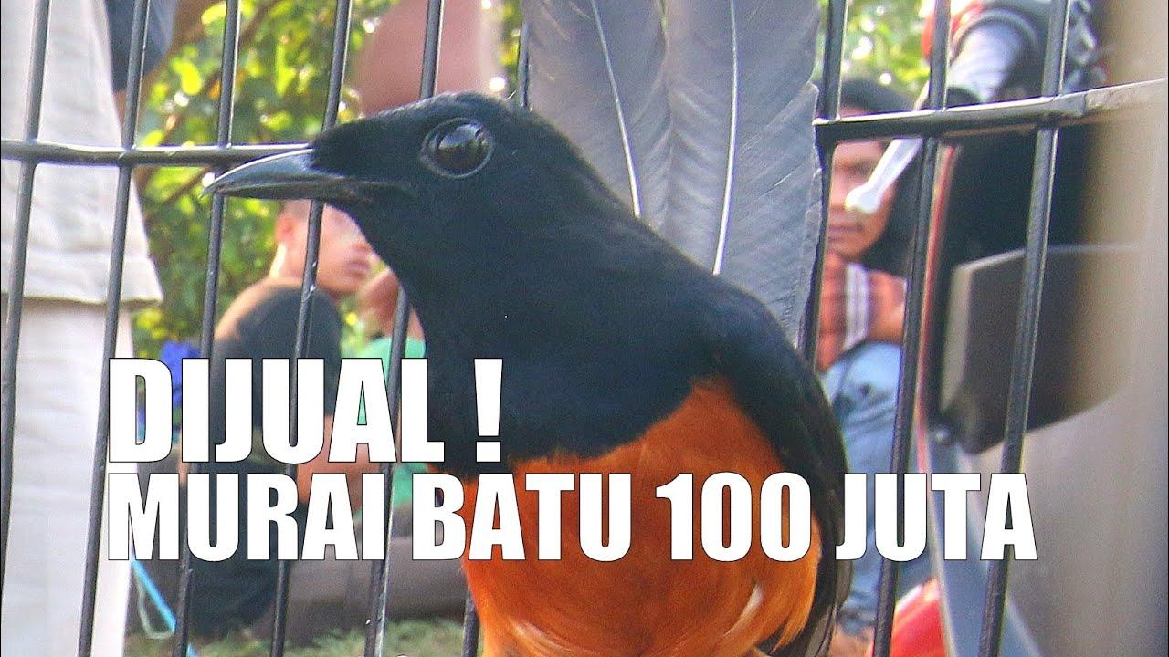 Kontes Burung Dijual 100 Juta Murai Batu Gacor Juara Di Basecamp Km Youtube