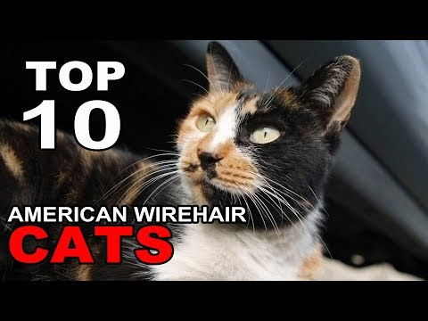 TOP 10 CUTE AND FUNNY AMERICAN WIREHAIR CATS BREEDS