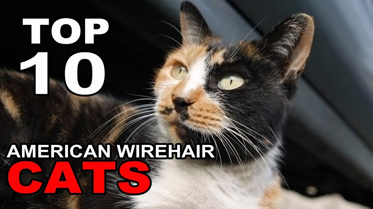 TOP 10 CUTE AND FUNNY AMERICAN WIREHAIR CATS BREEDS - YouTube