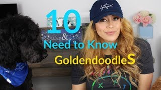 10 Things you NEED to know about GOLDENDOODLES
