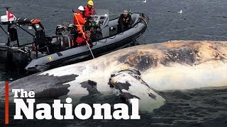 What's killing right whales in the Gulf of the St. Lawrence?