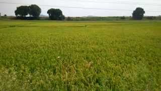 Rice cultivation in India