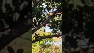 Thổ cồ cộ chân vòng kiềng 12.12.18(clip trên cây mang tính chất nghe giọng)
