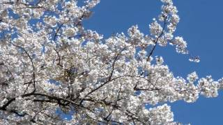 UNIST - さくら春風