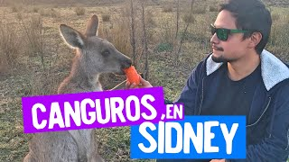 Canguros en Sidney - Morisset Park