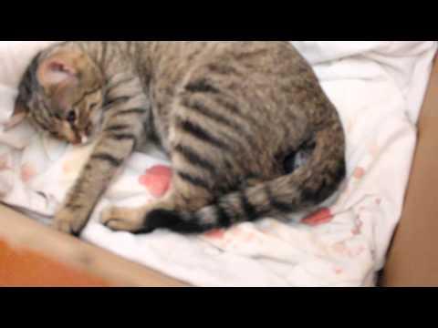 Как кошки занимаются любовью видео ::