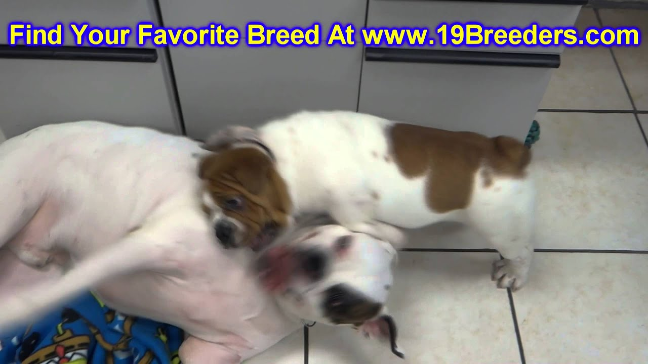 bull pei  puppies  dogs  for sale  in raleigh  north carolina  nc  durham  greenville  wilson