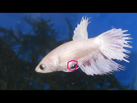 Female Betta fish breeding tips