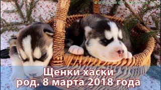 Предлагаем щенков хаски, родились 8 марта 2018 года