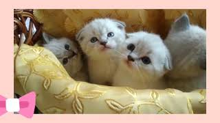 шотландские котята супермишки на продажу😻