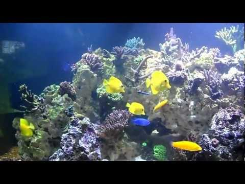 Cleaner Wrasse Getting Mobbed by Yellow Tangs