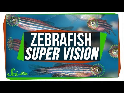 Baby Zebrafish Eyes Work Kind Of Like Real-Time Photoshop