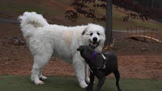 Great Pyrenees plays with pitbull